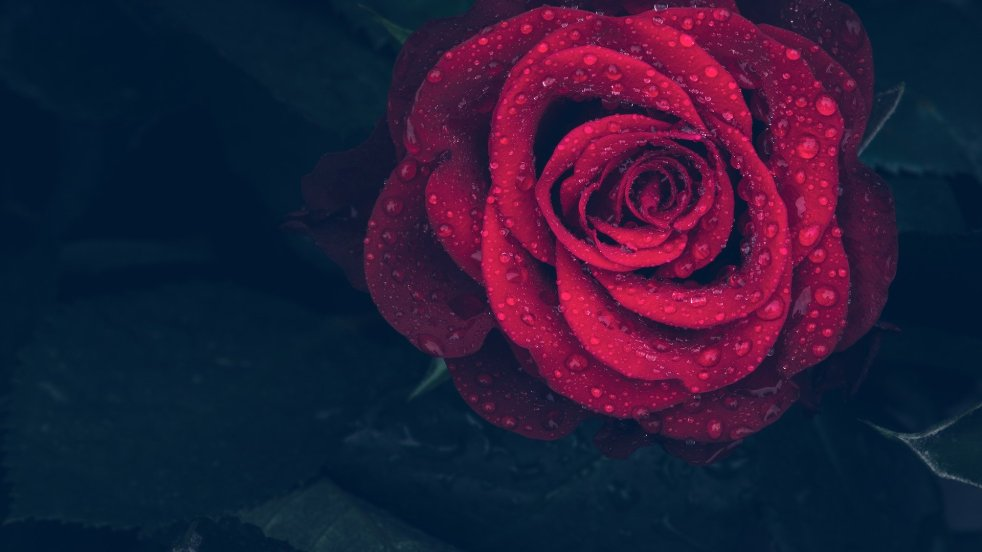 A Rose for a Rose - by its Thorn